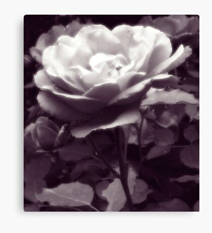 A Solitary Rose Canvas Print
