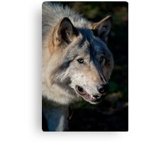 Timber Wolf Canvas Print