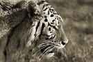 TIGER by Debbie Ashe