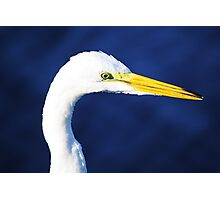 Great White Egret Up Close Photographic Print