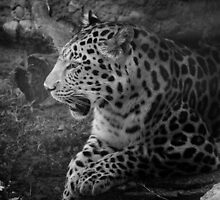 Cheetah Resting, Black and White by weheartdogs