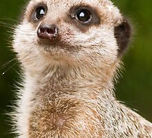 Meerkat (Suricata suricatta) by Steve  Liptrot