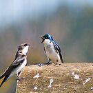 Tree Swallow Dispute by ToddDuvall