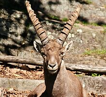 Ibex male by Tracey  Dryka