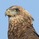 Juvenile Bateleur Eagle by Michael  Moss