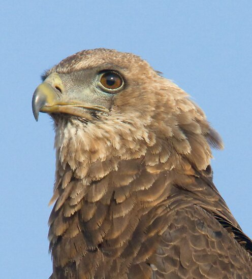 Juvenile Bateleur Eagle by Michael  Moss