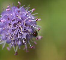 Scabious by Sue Tyler