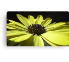 yellow daisy macro. Canvas Print
