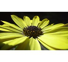 yellow daisy macro. Photographic Print