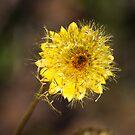 Seeding Paper Daisy by poinsiana