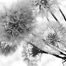 thistle seed heads by Janine Paris