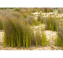 Dune Grass 3 Photographic Print