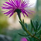 Ice Plant In Bloom by ToddDuvall