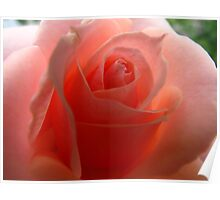 Peach Smoothie Rose Poster