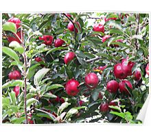 Red Delicious Bounty Poster