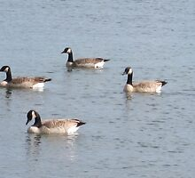 Canadian Geese by Rochelle Smith