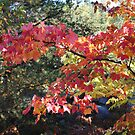 Fall Maple Leaves by eoconnor