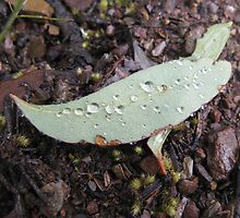 Raindrops on a Fallen Leaf - Molonglo Gorge ACT by Kim  Lambert