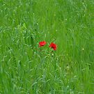 Two Poppies by peacegirl