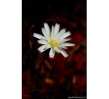 Desert Chicory Photographic Print