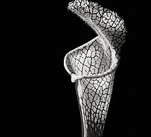 Cobra Lily in Black and White by Endre