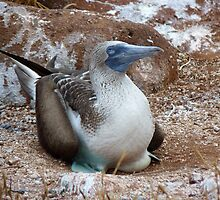 A very smug Blue-footed Booby by Peter Zentjens