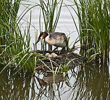 Great Crested Grebe on nest with eggs 4 by davejw