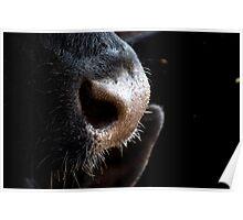 bovine sniffles Poster