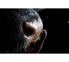 bovine sniffles Photographic Print