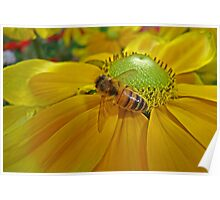 Honey Bee Gathering Nectar Poster