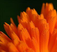 Calendula officinalis in early morning dew by Rosalind Rosewarne
