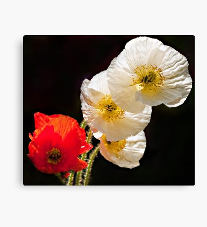 Poppies on Black Canvas Print