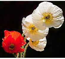 Poppies on Black Photographic Print