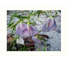 Butterfly Pea - a species of Clitoria Art Print