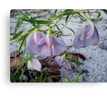 Butterfly Pea - a species of Clitoria Canvas Print
