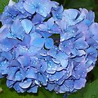 Periwinkle Blue Hydrangea, after the rain by Marcia Plante