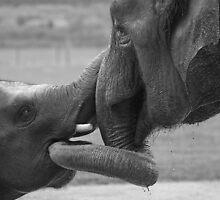 Elephants Bonding by Chris Thaxter