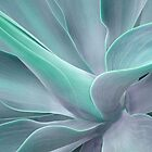 Soft Tint Agave Attenuata by Bel Menpes