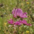 Cosmos Flowers by marens
