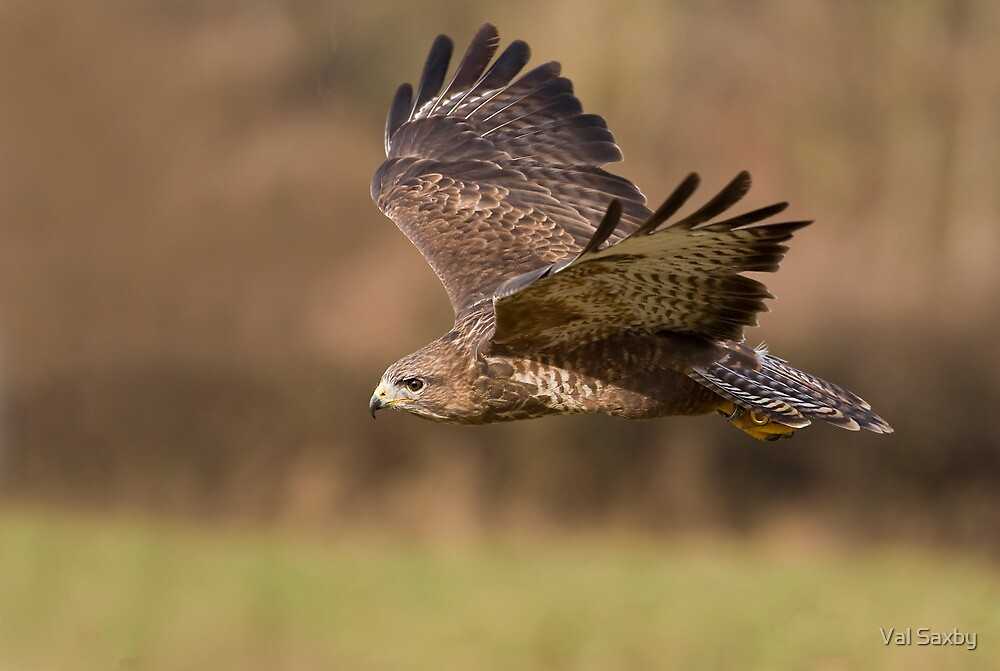 Buteo buteo by Val Saxby