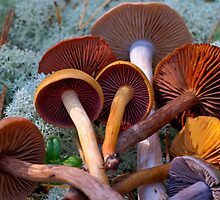 Colourful Genus Cortinarius by finnarct