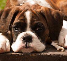 Brindle Boxer Pup by Bel Menpes