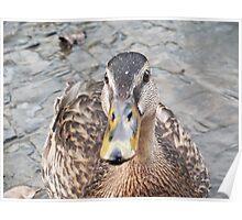 Duck Face!- Mallard Duck at Llangollen Poster