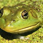 Green Frog by Buttershug2