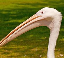 Pelican Head by Chris Thaxter