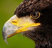 The Intense Gaze of a Golden Eagle by Bel Menpes