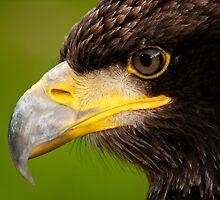 The Intense Gaze of a Golden Eagle by Bel Menpes