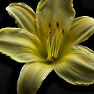 Yellow Cool It Daylily HDR by Vickie Emms