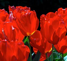 Red Tulips   by Frank Moroni