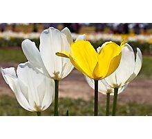 White & Yellow - Tulips Photographic Print